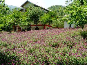 مزرعه گل گاوزبان