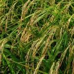 Rice Transplantation