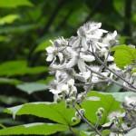 Bramble Blossom , Merse - Konale Hiking
