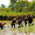 نشاء برنج توسط زنان زحمتکش روستای قاسم آباد سفلی