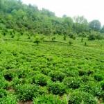 Steep slope tea farms , Merse - Konale Hiking