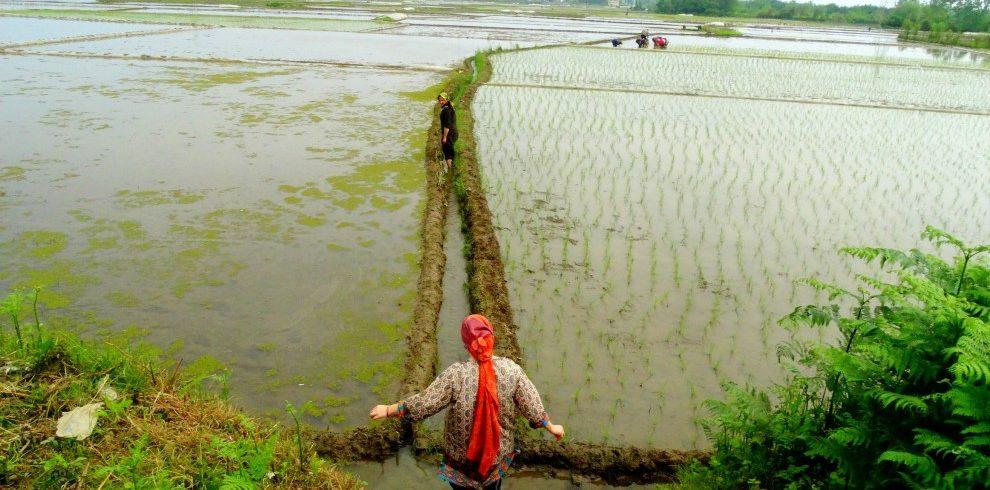 Rice planting 990×490